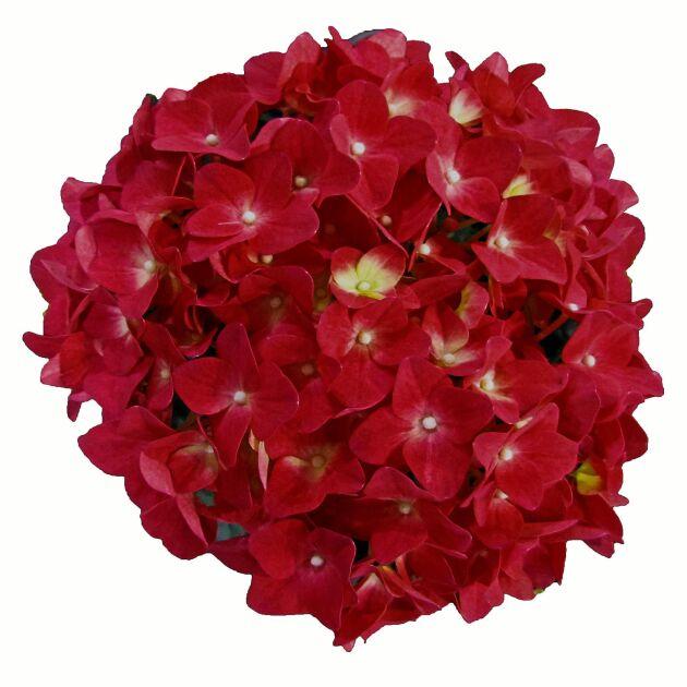 Nya hortensiavarianter överraskar. Här en klart röd.
