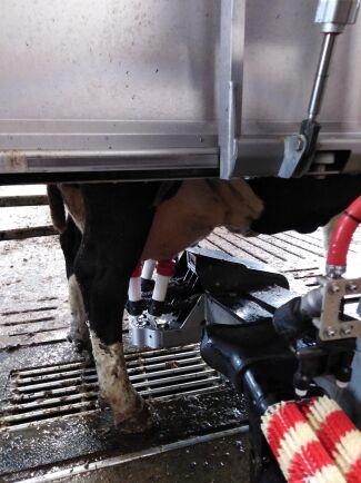 Mjölkning i robot.