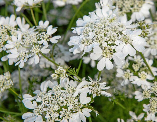 Blomsterkörvel är underbar att blanda i buketter.