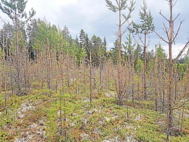De kraftiga betesskadorna upptäcktes när markägaren anlitat personal för att röja. Nästan 30 hektar är förstörda och Skogsstyrelsen har aldrig sett så allvarliga skador tidigare i Västernorrland.