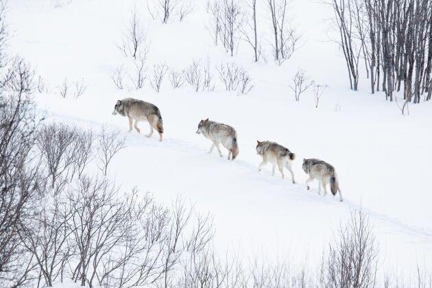 Inom Gävleborg har vi helt eller delvis nio revir som består av uppåt 100 vargar, skriver debattören.