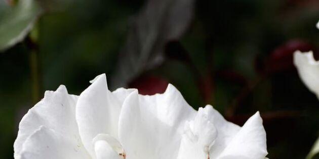 Expertens favoriter: 12 vackra rosor för altan och kruka