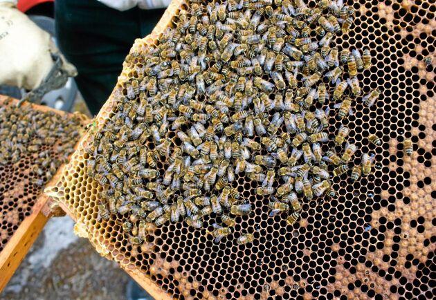 Det konventionella jordbruket är ett hot mot bin och andra pollinatörer, anser debattören.