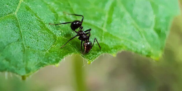 Det gör myrorna i ditt hus och din trädgård – och knepen som stoppar dem