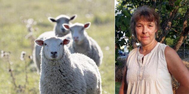 Lammtjuvar i farten - Maria fick 13 djur stulna