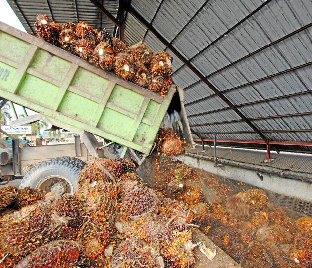 Leverans av palmoljeklasar till fabriken.