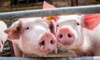 Danska grispriset fortsätter stiga