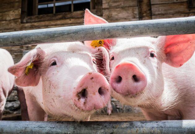 Danska grisar allt mer värda.