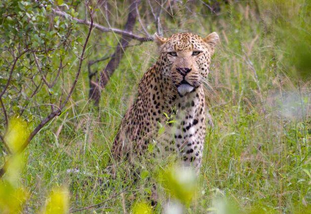 Leoparden fångades efter att ha fällt flera får.