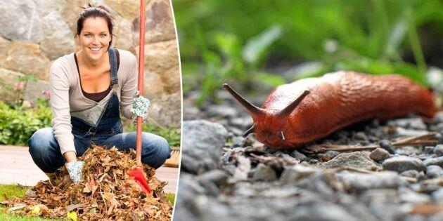 Höstfix i trädgården: Nu är det dags att jaga sniglar