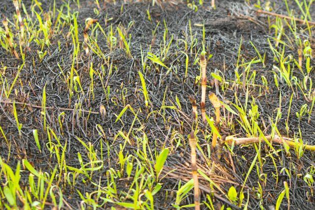 Naturens återhämtningskraft är stark. Två dagar efter att regnet förr syntes gröna grässtrån i allt det svarta.