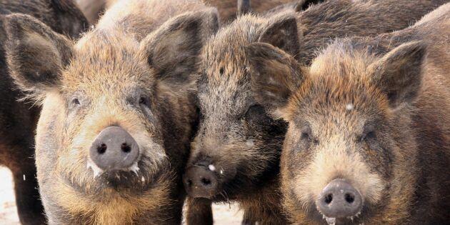 Vildsvin förstör för 660 miljoner - varje år