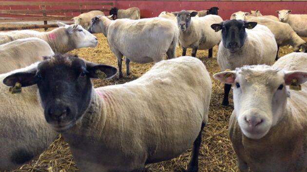 Stödet kan ge 300 kronor extra per tacka, men kräver också en stor insats av lantbrukaren.
