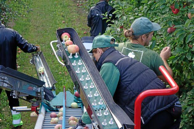 Plockningen är ett hantverk. Det gäller att försiktig vrida loss äpplet för att inte skada nästa års äppelknopp.