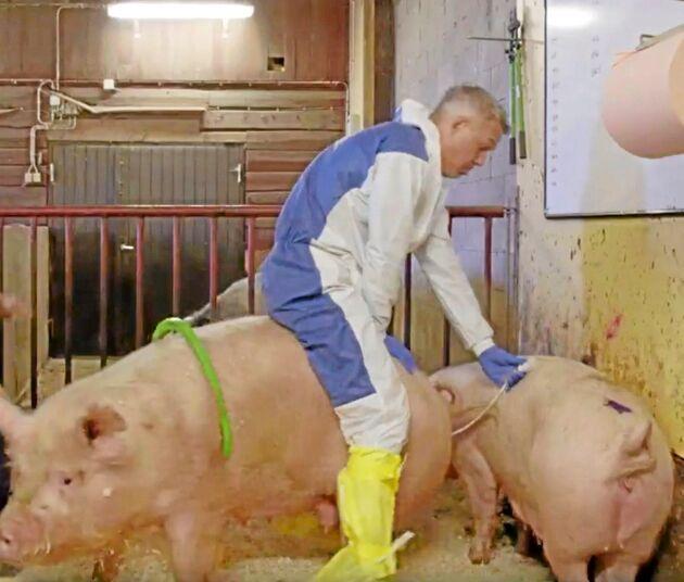 Henrik Schyffert lär sig seminera suggor när han besöker grisgården.