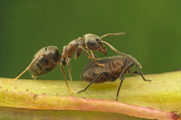 """En trädgårdsmyra med sitt husdjur, en svart bladlus. Myran klappar bladlusen för att """"mjölka"""" den på socker."""