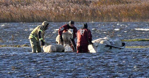 Ett 50-tal får blev strandsatta när ovädret drog in över Skåne och fick betena att svämma över. Räddningstjänsten kunde så småningom rädda alla fåren.