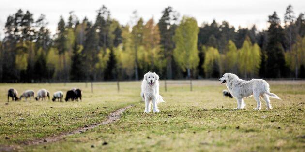 Här vaktar boskapshundarna Inge och Kristin – dygnet runt