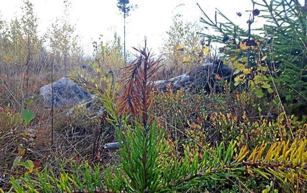 Efter att ett nytt utbrott av diplodiasjukan konstaterats utanför Ljusdal är Skogsstyrelsen och SLU nu överens om att svampsjukdomen får anses etablerad i Sverige.