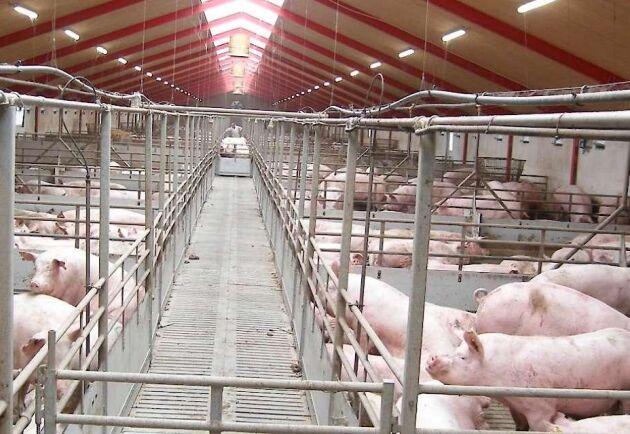 Det stora lantbruket består av flera gårdar med en integrerad produktion av 25 000-30 000 slaktsvin om året och 2 100 årssuggor.
