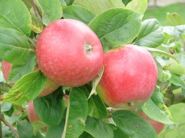 Äpple, gott på så många sätt!