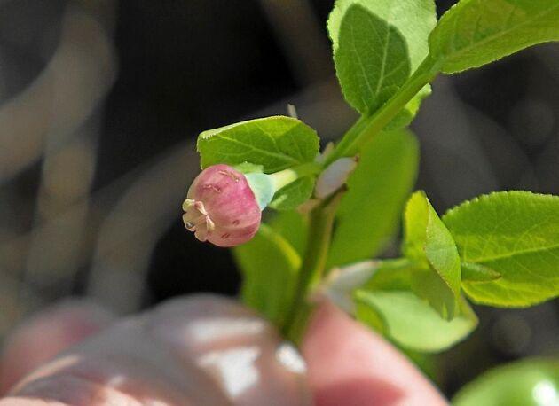 Blåbärsblomman är en liten försommardelikatess med svag blåbärssmak.