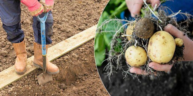 Torktåligt och lättskött: Sätt potatisen i dike