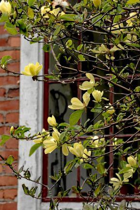 'Maxine Merill' har graciöst formade blommor.
