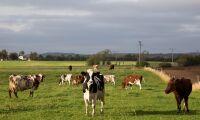 Kor är bättre än människor för klimatet