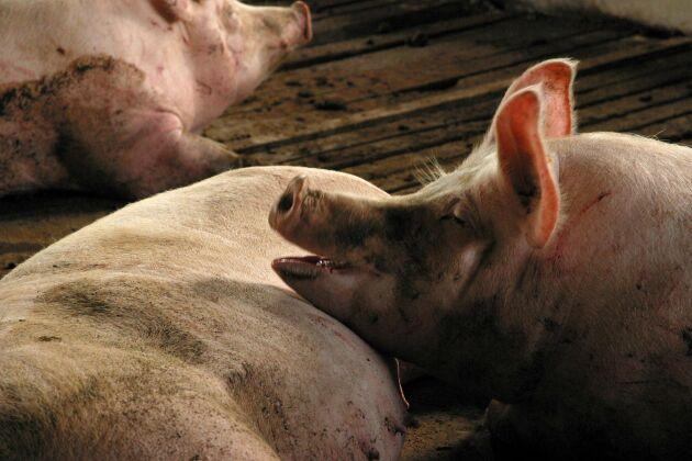 Hittills har sju grisar dött av afrikanskt svinpest i Serbien och 114 har avlivats.