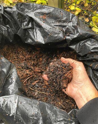 En stor del av innehållet i sopsäcken är mörkbrun och luftig lövmull. Eklöv och en del mossa som slunkit med i mixen får stanna i påsen ett år till.