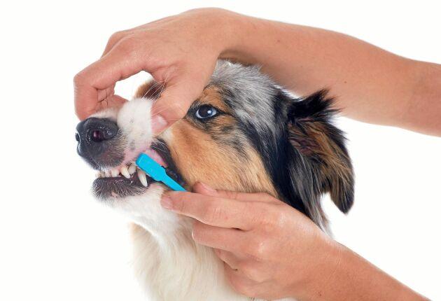 Borsta tänderna gör stor skillnad för hundens hälsa.