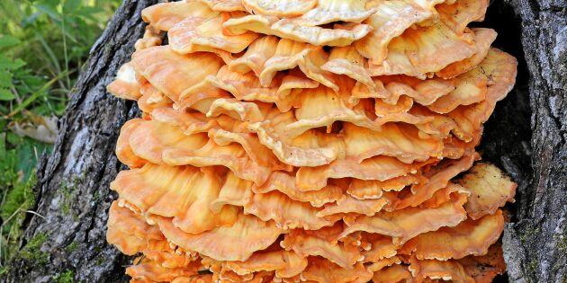 Här är svampen som smakar precis som kyckling!