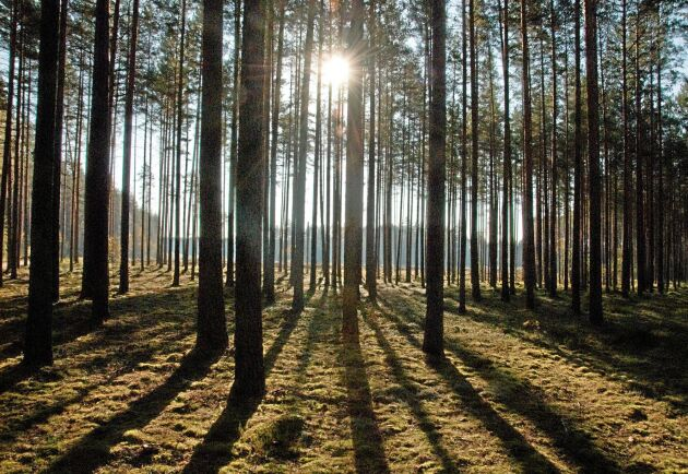 Svensk skogsdröm i Lettland.