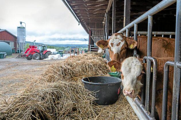 Idag föder Kenneth och Kerstin upp 180 köttdjur varav hälften säljs direkt via internet.