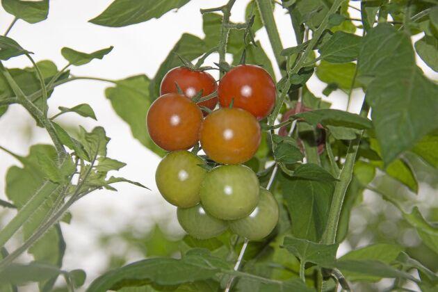 Tack vare värmen från biogasen kan Söderlinds plocka tomater ända in i december.