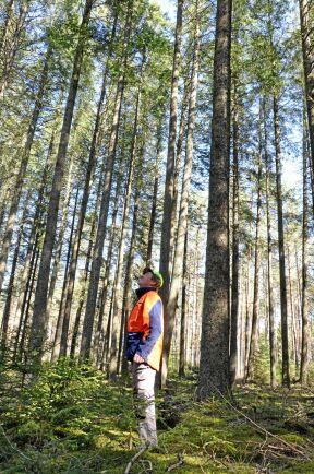 Några av douglasgranarna i Ljung närmar sig 40 meter. I Nordamerika kan de bli 100 meter höga.