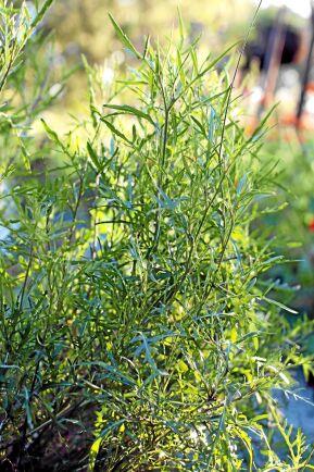 Sandsenap (Diplotaxis tenuifolia) Kallas ofta vild rucola i handeln. Bladen används i sallader och senare på säsongen när bladen blir kryddstarka gärna i pesto eller lätt ångad. Vintergrön i södra delarna av landet. Även blommorna är ätliga. Föredrar mullrik, väldränerad jord och soligt läge. Är torktålig. Foto: Anette Brunsell.