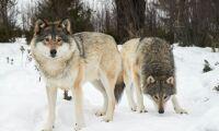 Två vargar sköts i Hälsingland