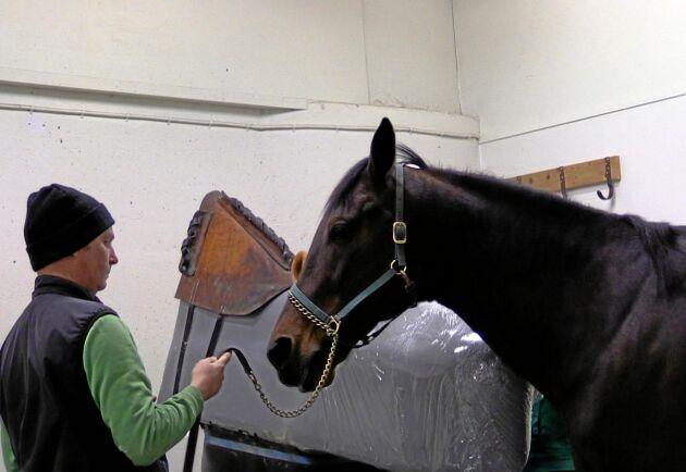 """Mats Hästtransport hämtade färsk sperma från ett 50-tal svenska avhämtningsstationer i år. """"Det var hingsthållarna på travsidan som drog i gång detta"""", säger han. På bilden är travhingsten Maharajah på Menhammars stuteri."""