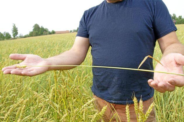 Det långa avståndet mellan ax och flaggblad på de gamla sorterna, minskar risken för att angrepp på flaggbladet smittar kärnan.