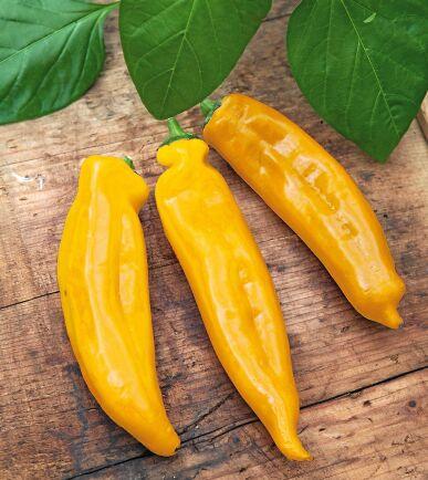 Paprika 'Zazu' får gula spetsiga frukter med söt smak. Så inomhus i januari-mars. Odla i varmt och skyddat läge, gärna i kruka. Ekofrö. Nelson Garden.