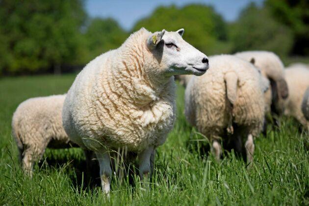 Båda gårdarna utökar sina djurbesättningar. Viktigt är att djuren får utlopp för sina naturliga beteenden.
