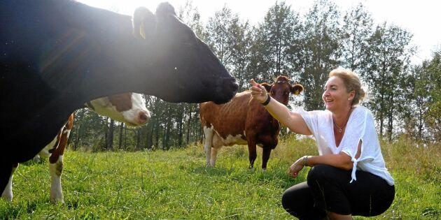 """De satsar på gräsätande mjölkkor: """"Blir ett premiumkött"""""""