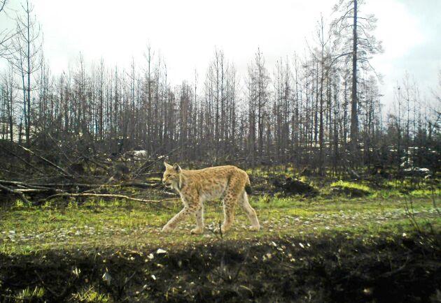 Lodjur på brandområdet i Västmanland fotograferat av länsstyrelsens fasta webbkamera.