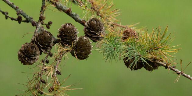 Dagens träd kanske inte optimala i nytt klimat
