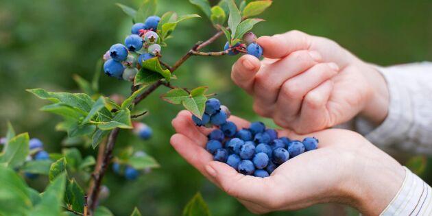 Så odlar du blåbär hemma – lätt som en plätt!