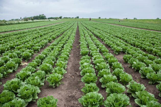 Det har blivit allt svårare att hitta arbetskraft till trädgårdsodlingen, enligt LRF Trädgård. På bilden en sallatsodling i Skåne.