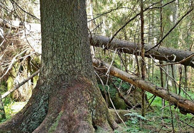 Sveriges högsta gran, den så kallade Mölnbackagranen, är angripen av granbarkborren och kommer att dö. Runt stammen syns så kallat borrmjöl.