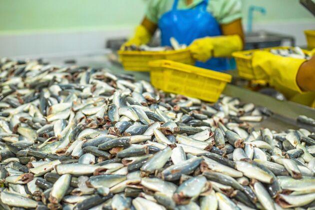 Findus är en av de svenska storproducenterna som skickar torsk som fiskats upp i Atlanten till andra sidan jordklotet innan den färdiga produkten hamnar i svenska butiker.